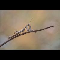 Mantis-.jpg (Harald Esberger)