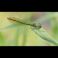 c_Calopteryx virgo DSC018912.jpg (Aeshna)