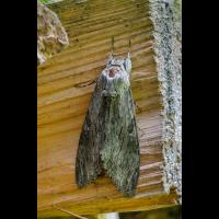 Nachtfalter-2.jpg (fossilhunter)