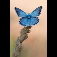 Blau Kopie.jpg (schaubinio)