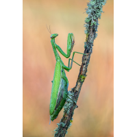 Mantis religiosa 2 MF. Kopie.jpg (schaubinio)