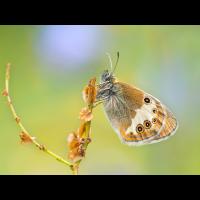 Coenonympha-arcania-EG003570.jpg (Otto G.)