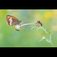Coenonympha-arcania-EG004430---Kopie.jpg (Otto G.)
