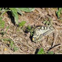 Papilio.jpg (Otto G.)