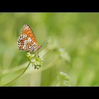 Melitaea-cinxia-OOG13880---Kopie.jpg (Otto G.)