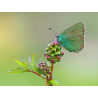 Callophrys-rubi-OOG64392---Kopie.jpg (Otto G.)