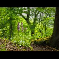 Orchis-purpurea_1-EG008546---Kopie.jpg (Otto G.)