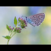 Maculinea-arion-OOG56971---Kopie.jpg (Otto G.)