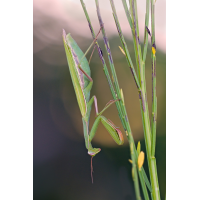Mantis-OOG82178---Kopie.jpg (Otto G.)