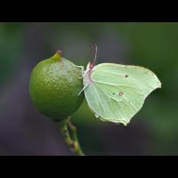 Gonepteryx-rhamni-oog12979---Kopie.jpg (Otto G.)