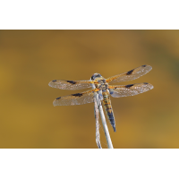 quadrimaculata-zoog42042_4---Kopie.jpg (Otto G.)