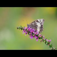 Brintesia-circe-zoog71775_8---Kopie.jpg (Otto G.)