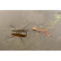 Frosch-Wasserläufer-OOG89743---Kopie.jpg (Otto G.)