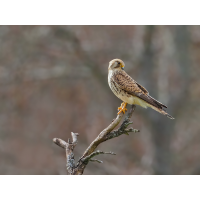 Falco-tinnunculus-OGG95334---Kopie.jpg (Otto G.)