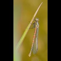 Pyrrhosoma-nymphula-zogg11801_11---Kopie.jpg (Otto G.)