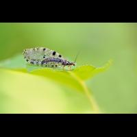 Osmylus-fulvicephalus-zogg36342_8---Kopie.jpg (Otto G.)
