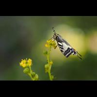 Papilio-machaon-zogg80426_9---Kopie.jpg (Otto G.)