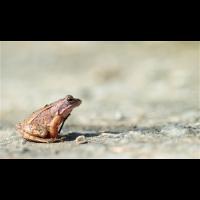 Moorfrog02makro.jpg (Ajott)