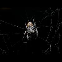 Spinne bei Nacht (4).JPG (Nana13)