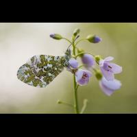 Aurorafalter (Anthocharis cardamines) (3) - Kopie.jpg (frank66)