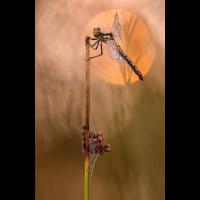 Blutrote Heidelibelle Weibchen.jpg (frank66)