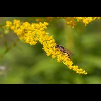1 Philanthus-triangulum Bienenwolf nimmt Nektar auf.jpg (Jürgen Fischer)