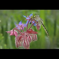 Ophiogomphus-cecilia 01.jpg (Jürgen Fischer)