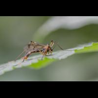 IMG_3902_Faltenmücke Ptychoptera contaminata-.jpg (Harmonie)