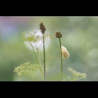 DSC02136 Kokon in der Wiese... kl 29.07.17.jpg (kabefa)
