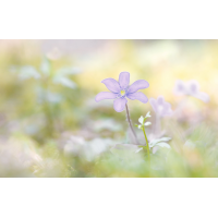 DSC04986 Purple dream... kl.jpg (kabefa)