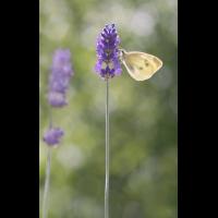 DSC01337 Der Duft des Lavendel... kl.jpg (kabefa)
