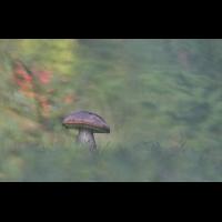 DSC02182 Birkenpilz im Herbstwald... kl.jpg (kabefa)