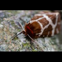 Brauner-Bär.jpg (Nikonudo)
