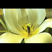 Tulpe-000.jpg (nemo)