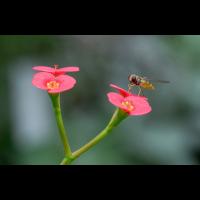 2017-07-02-Schwebfliege Stack - verkl-2.jpg (hawisa)