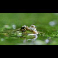 P6300137-1-Frosch frei -verkl.jpg (hawisa)