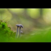 Violetter Lacktrichterling-PA120021-1 - verkl.jpg (hawisa)