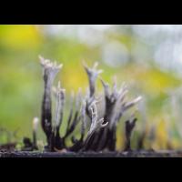 Steife Koralle-PB030013-2-verkl-PS6.jpg (hawisa)