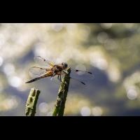 P5310033-1-Libelle.jpg (hawisa)