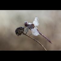Libelle 3 (1 von 1).jpg (dirk)