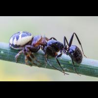 Spinne Ameise 6 - 1.jpg (dirk)