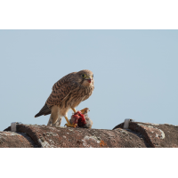 Falco tinnunculus 079136_1200.jpg (Qflieger)