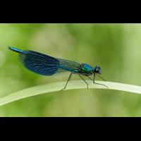 Calopteryx splendens 012479_MF.jpg (Qflieger)
