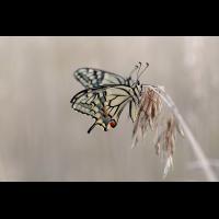 Papilio machaon 015573_1200.jpg (Qflieger)