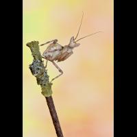 Creobotra gemmatus III L5 (1 von 1).jpg (Enrico)