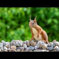 Eichhörnchen-an-Tränke.jpg (Enrico)
