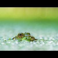 Frosch-2-BTGB.jpg (Enrico)