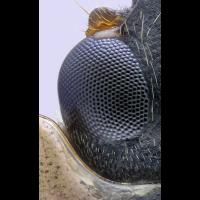 ladybug_eye_20x_WS1200_Q93.jpg (Adalbert)