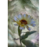 Ringelblume1mf2.jpg (AngelaSG)