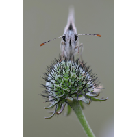 Steppenheiden-Würfel- Dickkopffalter (Pyrgus carthami).jpg (geggo)